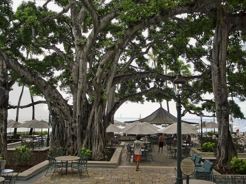 Moana Banyan Tree