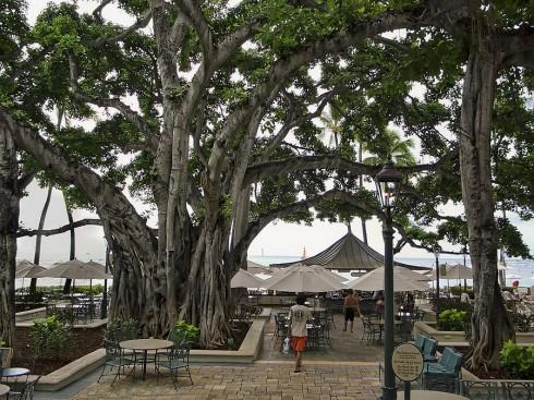 Moana Banyan Tree